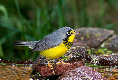 Warbler Photograph - Canada Warbler by Anthony Mercieca