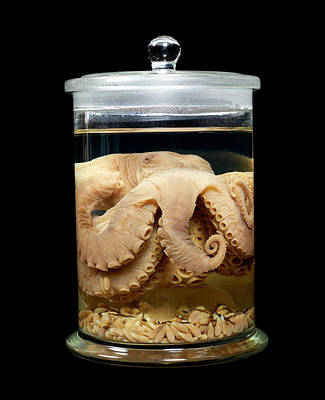 Octopus Photograph - Caribbean Reef Octopus by Natural History Museum, London