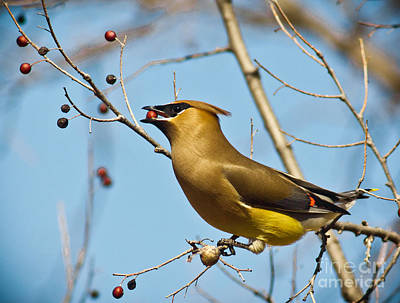 Cedar Waxwing With Berry Print by Robert Frederick