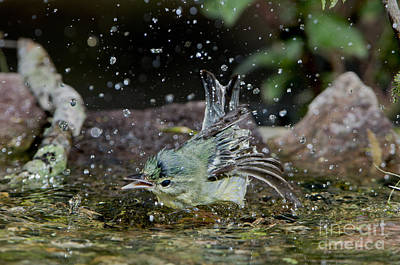 Cerulean Warbler Print by Anthony Mercieca