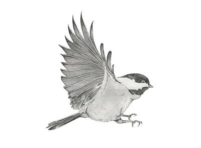 Chickadee Drawing - Chickadee Outstretched by Christopher Hughes