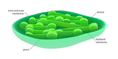 Chloroplast Print by Science Photo Library