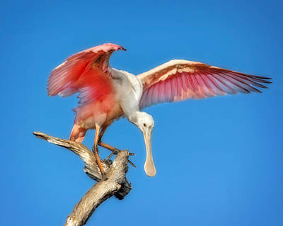 Spoonbill Photograph - Cleared For Takeoff by Mark Andrew Thomas