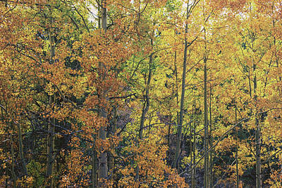 Colorful Colorado Turning Aspens Mountain Landscape Scene Photograph - Colorful Changing Aspens - Divide Colorado by Brian Harig