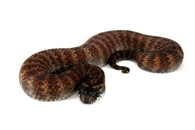 Common Death Adder Print by Gerry Pearce