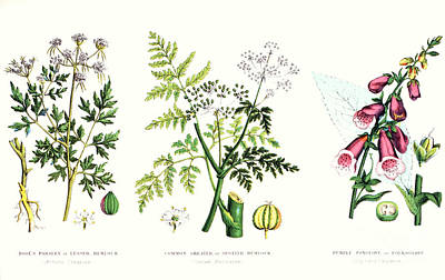 Botany Painting - Common Poisonous Plants by English School
