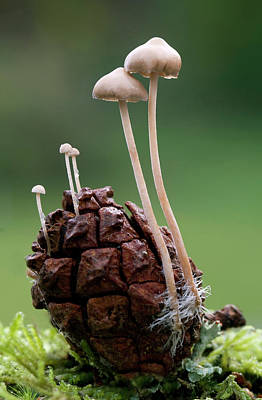 Conifer Cone Cap Fungus Print by Nigel Downer