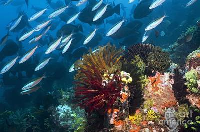 Coral Reef, Indonesia Print by Georgette Douwma
