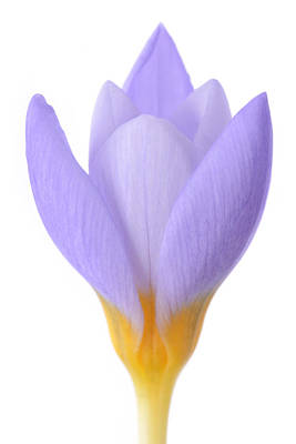 Crocus Print by Mark Johnson