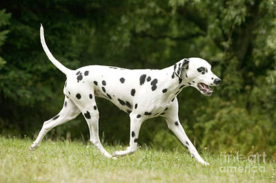 Dog Trots Photograph - Dalmatian Dog by Jean-Michel Labat