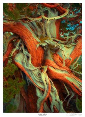 Deranged Redwood Print by Lar Matre