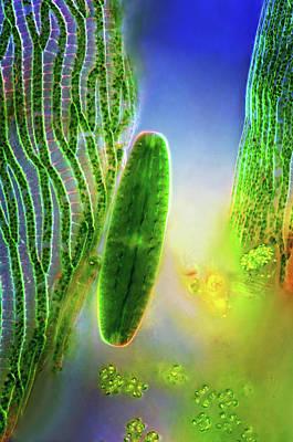 Algal Photograph - Desmid And Sphagnum Moss by Marek Mis