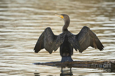 Double-crested Cormorant Print by John Shaw