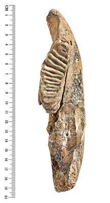 Dwarf Elephant Tooth Print by Natural History Museum, London