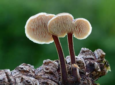 Pine Needles Photograph - Ear Pick Fungus by Nigel Downer