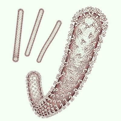 Ebola Virus Particles Print by Russell Kightley