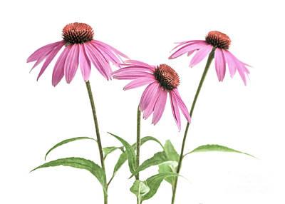 Pink Flower Photograph - Echinacea Purpurea Flowers by Elena Elisseeva