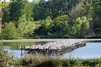 Egrets Nesting Print by Jim West