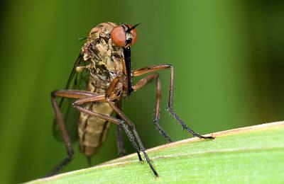 Proboscis Photograph - Empid Fly by Nigel Downer