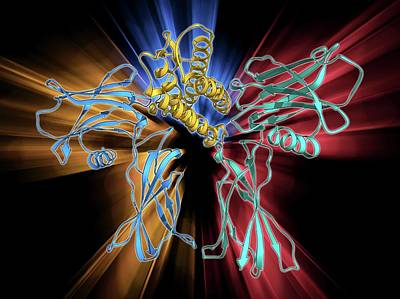 Molecular Structure Photograph - Erythropoietin Bound To Receptors by Laguna Design