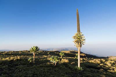 Lobelia Photograph - Ethiopian Giant Lobelia (lobelia by Martin Zwick