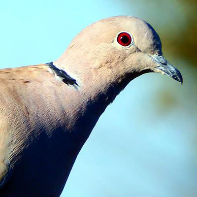 Dove Digital Art - Eurasian Collared Dove by David G Paul