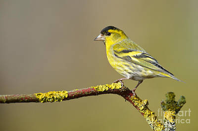 Siskin Photograph - Eurasian Siskin by Willi Rolfes