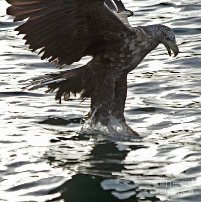 Ailing Photograph - European Fishing Sea Eagle 3 by Heiko Koehrer-Wagner