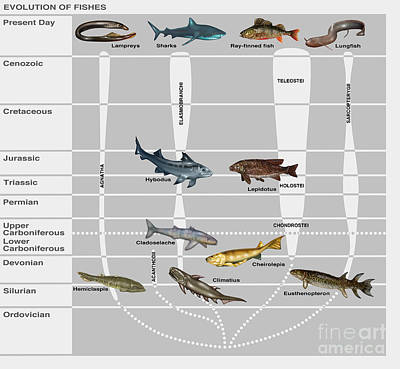 Triassic Photograph - Evolution Of Fishes, Illustration by Gwen Shockey
