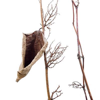 Dried Photograph - Fallopia Japonica by Bernard Jaubert