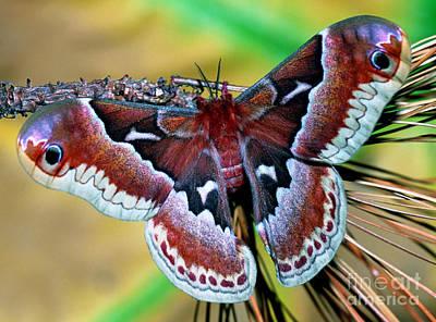 Female Promethea Moth Print by Millard H. Sharp