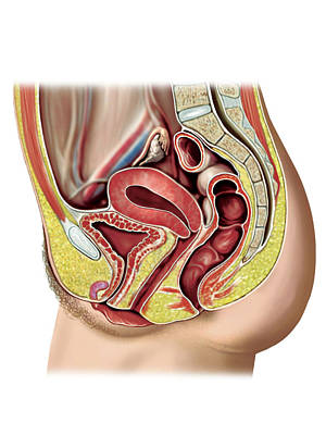 Fertilization Photograph - Female Sexual Response by Asklepios Medical Atlas