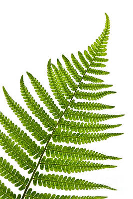 Leafs Photograph - Fern Leaf by Elena Elisseeva