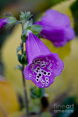 Foxglove Print by Ivete Basso Photography