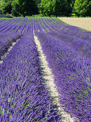 France, Provence, Lavender Field Print by Terry Eggers