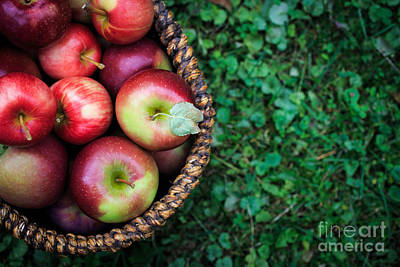 Picking Photograph - Fresh Picked Apples by Edward Fielding