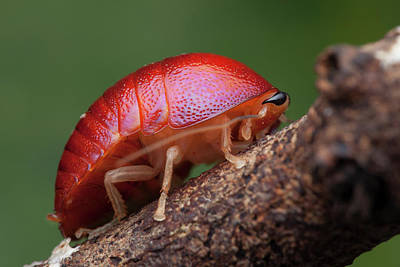 Cockroach Photograph - Freshly Moulted Pill Cockroach by Melvyn Yeo