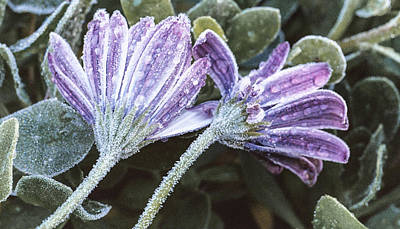 Osteospermum Photograph - Frosted Flowers by Caitlyn  Grasso