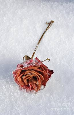 Frozen Rose Print by Martin Capek