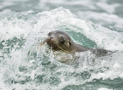 Galapagos Sea Lion Surfing Mosquera Print by Tui De Roy
