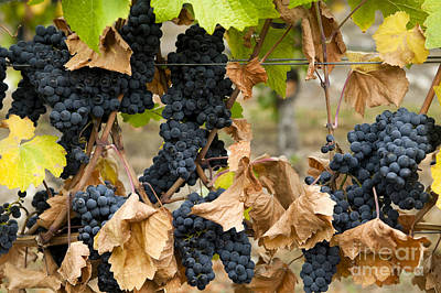 Gamay Noir Grapes Print by Kevin Miller