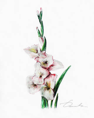 Gladiolus Drawing - Gladiolus by Danuta Bennett