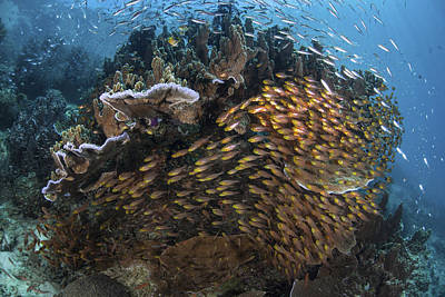 Dampier Photograph - Golden Sweepers Swim Under A Coral by Ethan Daniels
