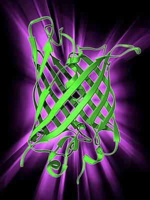 Molecular Model Photograph - Green Fluorescent Protein Molecule by Laguna Design