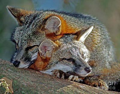 Grey Foxes Print by Millard H. Sharp
