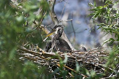 Eastern Europe Photograph - Grey Heron (ardea Cinera by Martin Zwick