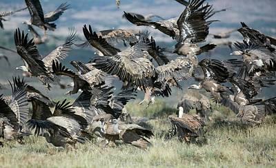 Griffon Photograph - Griffon Vultures by Nicolas Reusens