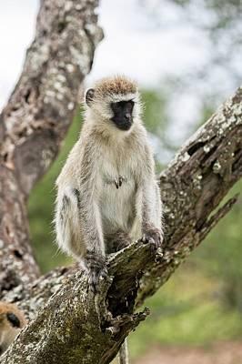 Monkey Photograph - Grivet Monkey Chlorocebus Aethiops by Photostock-israel