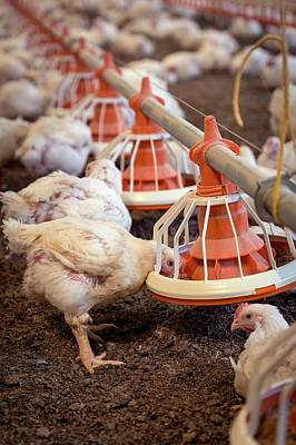 Hens Feeding From A Trough Print by Aberration Films Ltd