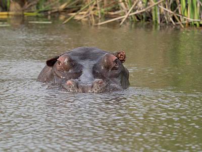Hippopotamus Photograph - Hippopotamus Hippopotamus Amphibius by Panoramic Images